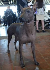 Xoloitzcuintlis are another hairless breed for allergy-sufferers