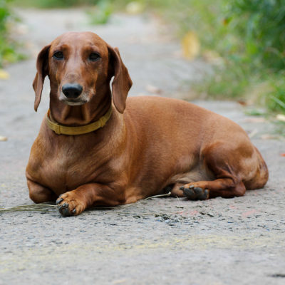 Dachshund temperament covers a variety of layers