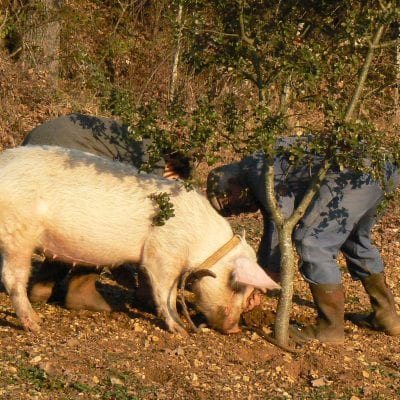 Truffle pigs used to perform the task