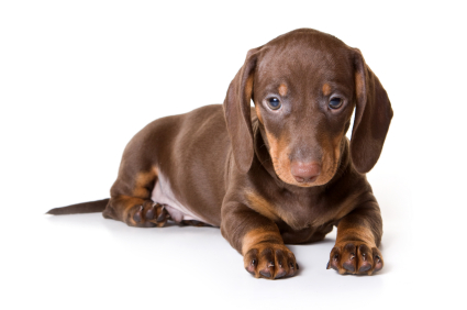 Dachshund temperament includes silliness, too