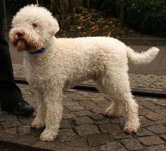 Lagotto Romagnoloor Truffle Dog
