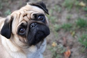 The Pug breed is extremely popular