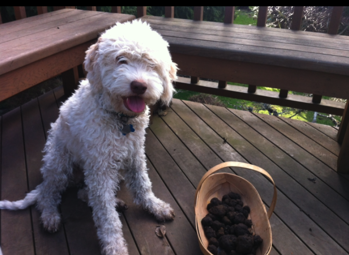 Truffle dogs are tops at finding this prize ingredient