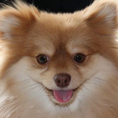 Best Small Dogs - Pomeranian Puppy