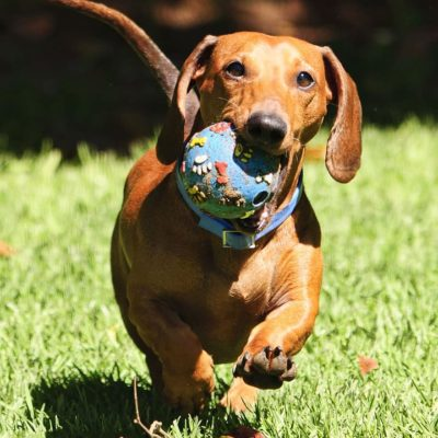 Dachshunds worked as badger hunters originally