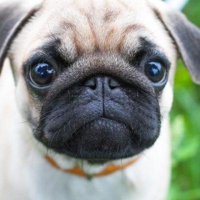 Pugs have large, bulging eyes
