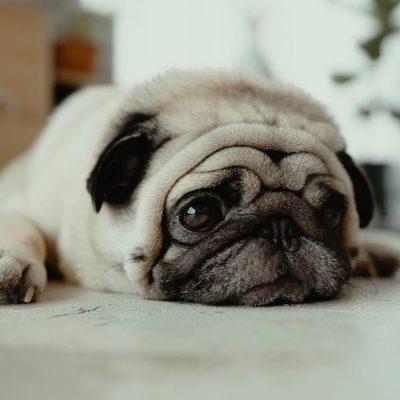 A Pug isn't very active