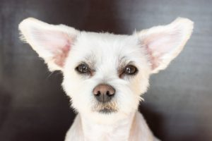 Clean your dog's ears to keep them healthy