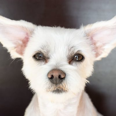 Clean your dog's ears