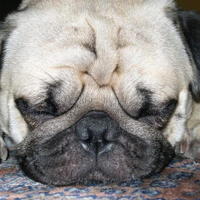 Pug lifespan is impacted by the shape of their skull