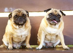 The Pug lifespan is normal but packed with major health concerns