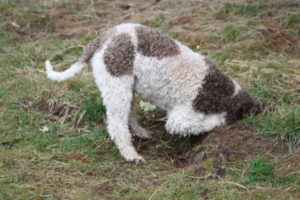 Truffle dogs are tops at scouting this key ingredient