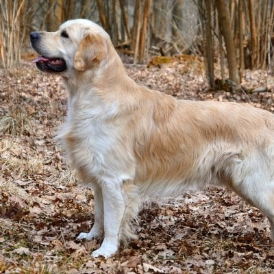 Golden Retrievers are one of the most commonly seen service dogs