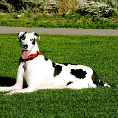 Great Danes are one of the best service dogs due to their size