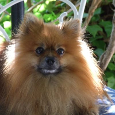 Pomeranians are one of the smallest of the best service dogs