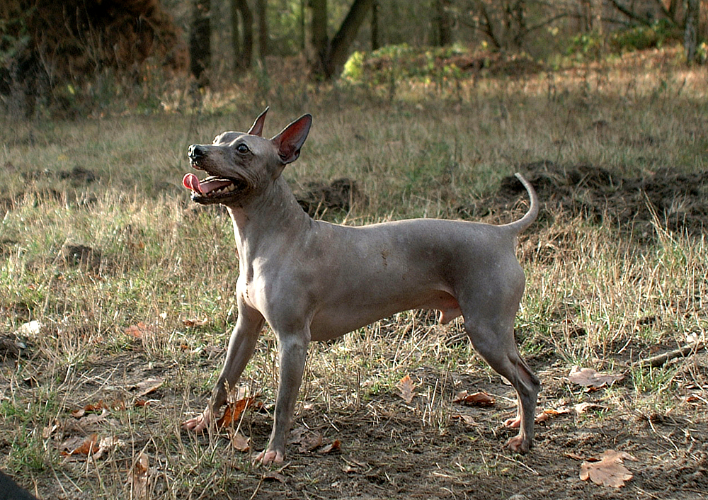 American Hairless Terrier - a local hairless dog breed