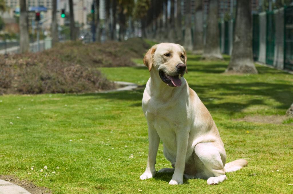 Labrador Retrievers are excellent dog breeds for cats