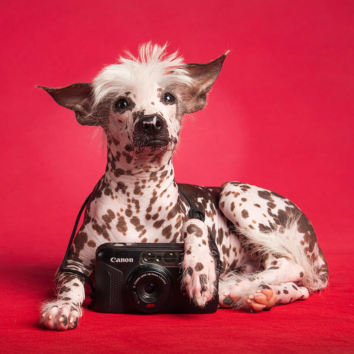 Peruvian Inca Orchid is a rare hair less dog breed