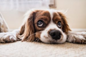After-spay care keeps your dog safe and healthy