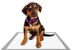 When you need to learn how to potty train a puppy on pads, bring your patience