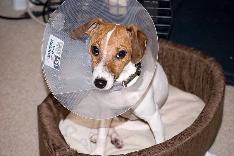 After-spay care always involves an E-collar
