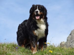 Giant dog breeds are some people's favorites