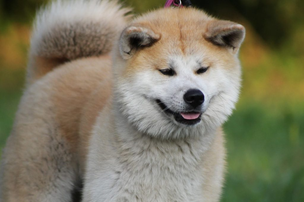 Akitas often struggle with eye issues, such as entropion