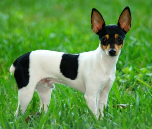 American Toy Fox Terriers are tiny dog breeds with lots of energy
