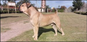 Boerboels have defended farms in Africa, leading to an aggressive streak