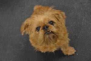 Brussels Griffon are tiny dogs with endearing faces