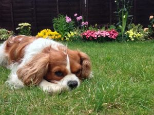 Cavalier King Charles Spaniels have a reputation as one of the calmest dog breeds