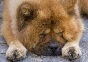 Chow Chows should only be owned by experienced owners