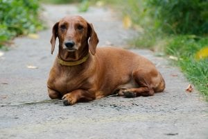 Dachshunds are one of the most aggressive dog breeds despite their small size
