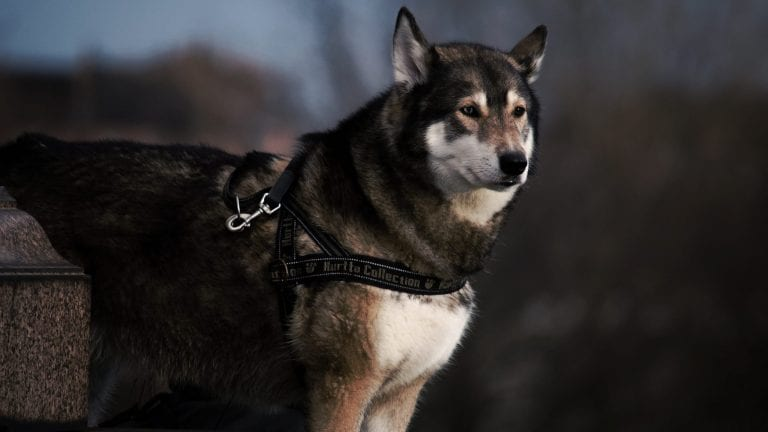 Dog harnesses allow greater control on walks