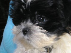 Maltipoos are one of the most common teacup breeds