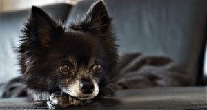 Chihuahuas suffer from Napoleon complexes that prompt aggression