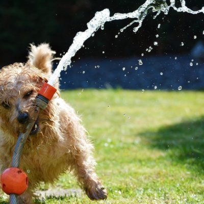 Dogs need to meet a specific water amount every day