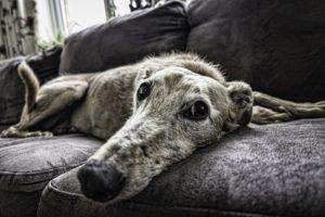 Glucosamine for dogs may help improve arthritis