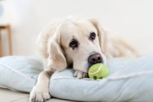 Tennis ball launchers are the perfect canine accessory