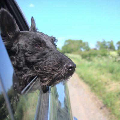 Dogs enjoy car rides, regardless of age or size