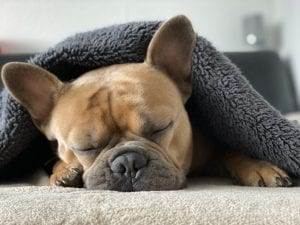 The calmest dog breeds don't mind snoozing while you work