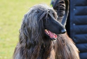 Afghan Hounds are one of the best dog breeds for people with allergies despite what you might think