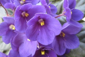 African violets are tiny cat-friendly plants