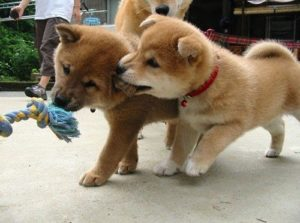 Akitas are a guard dog breed needing competent owners