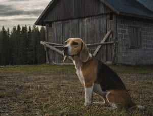 Beagles can do well with cats, though they do howl