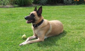 Belgian Malinois work in the military and police force