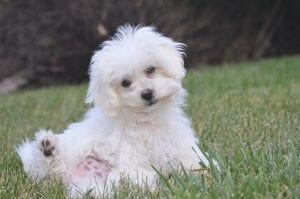 Bichons have all-around great personalities