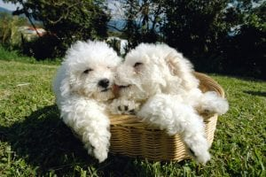 Bichons are sweet yet sturdy little dogs