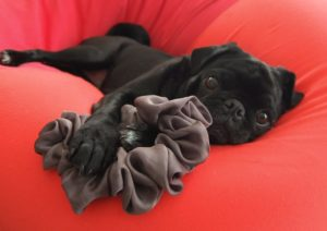 Pugs enjoy napping, but they're also a dog breed for kids who like playtime
