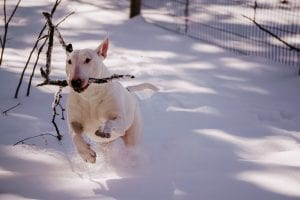 Bull Terriers make great dog breeds for kids
